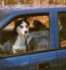 Lobo in car